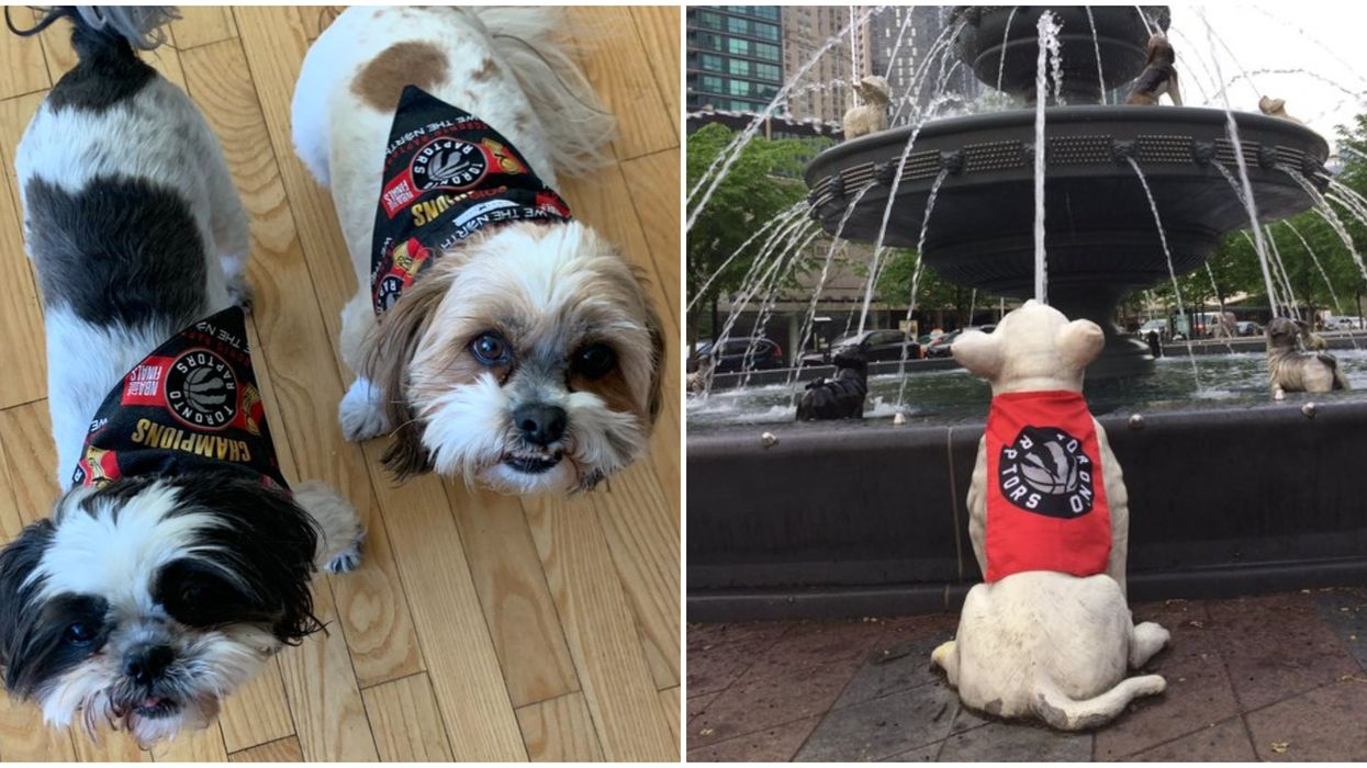 Dogs In Raptors Gear That Are Currently Cheering On The Raptors More Than Humans