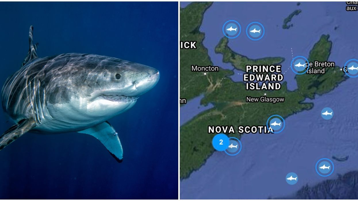 There Are A Ton Of Huge Sharks Off Of Canada's East Coast Right Now