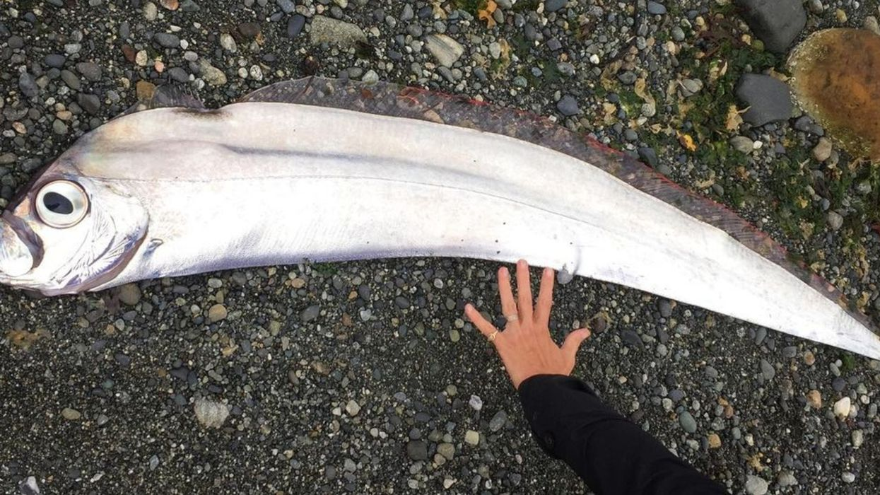 This Rare Deep-Sea Fish Washed Up On The BC Shore Looks Like A Giant Anchovy