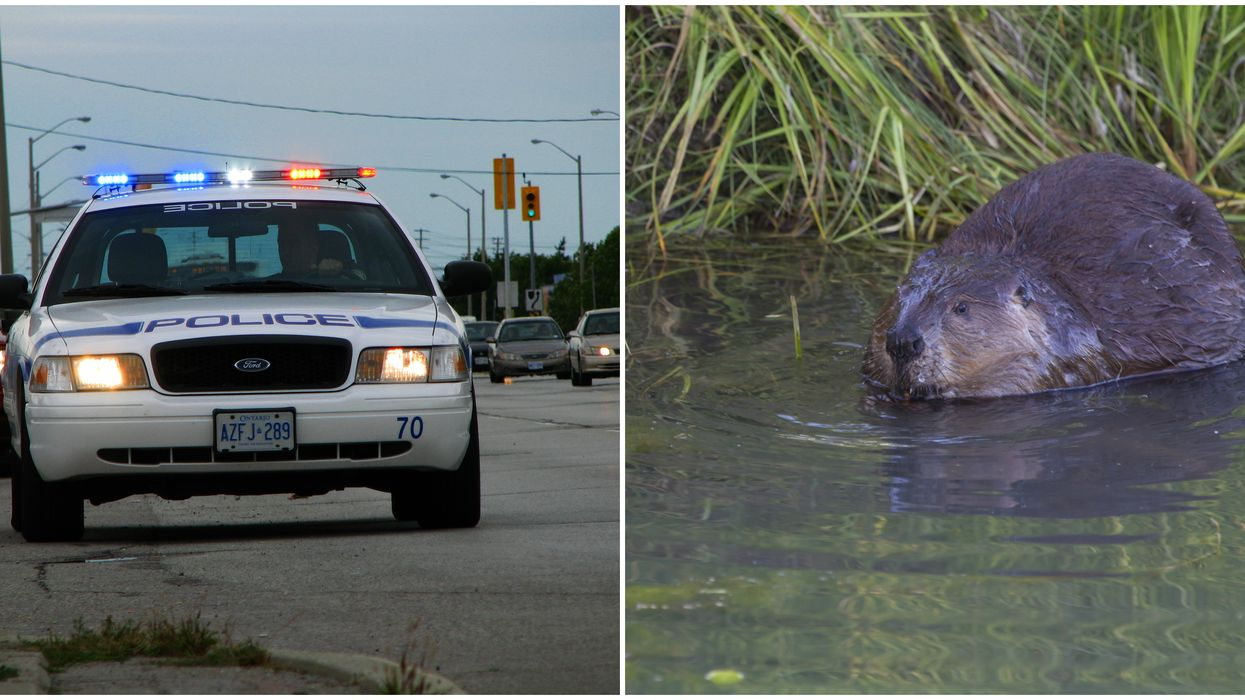Peel Police Went Searching For Bears Last Night & It Turned Out To Be A Beaver