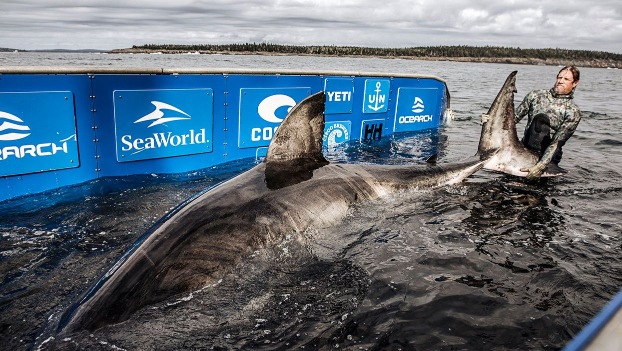 Great White Shark In Nova Scotia Waters Is Being Called The Queen Of The Ocean