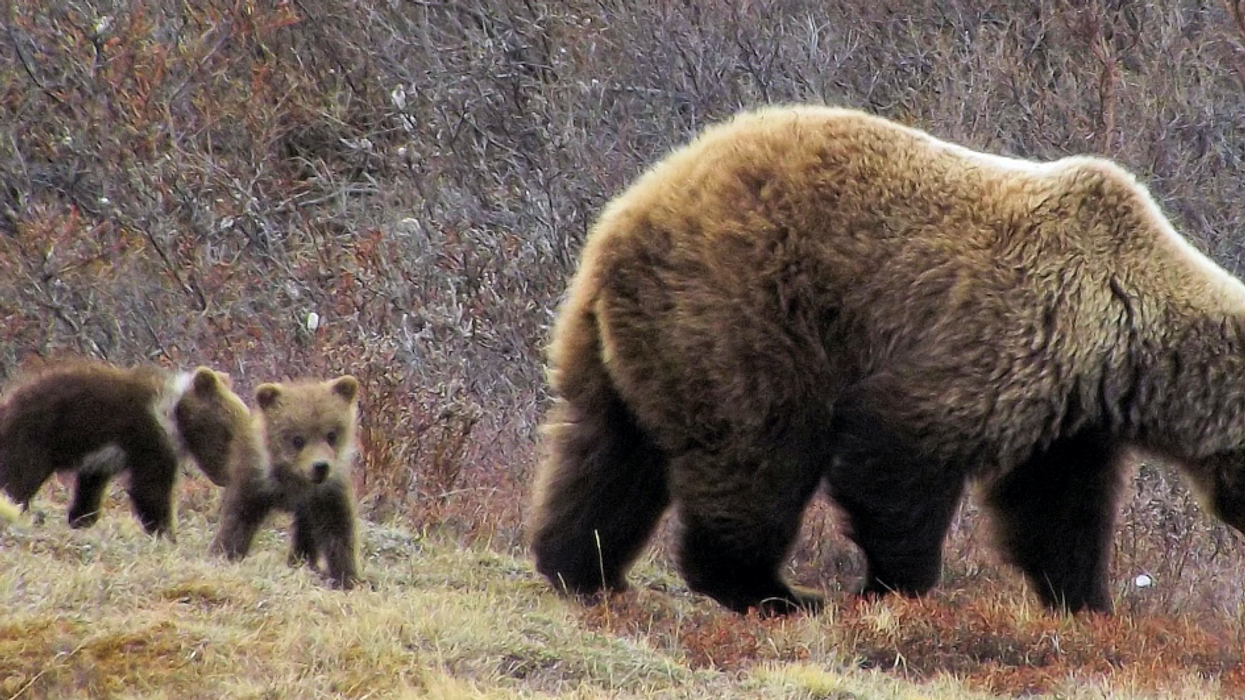 An Alberta Hiker Was Attacked By A Huge Mama Bear & He Didn't Have Time To Use Bear Spray