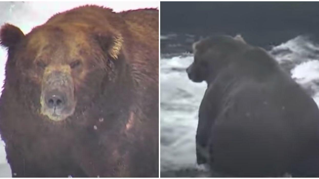 'Fat Bear Week' Is A Thing At An American National Park & It's Better Than Shark Week