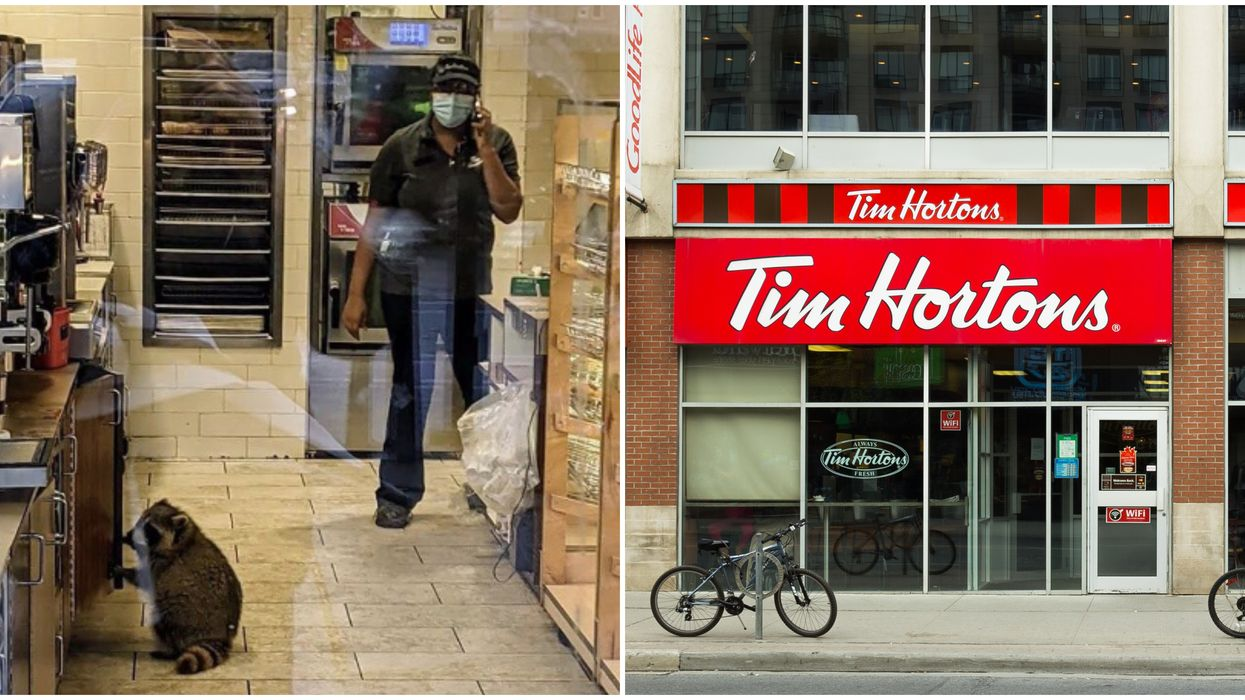 A Trash Panda Was Spotted Working Very Hard At A Tim Hortons In Toronto (PHOTO)