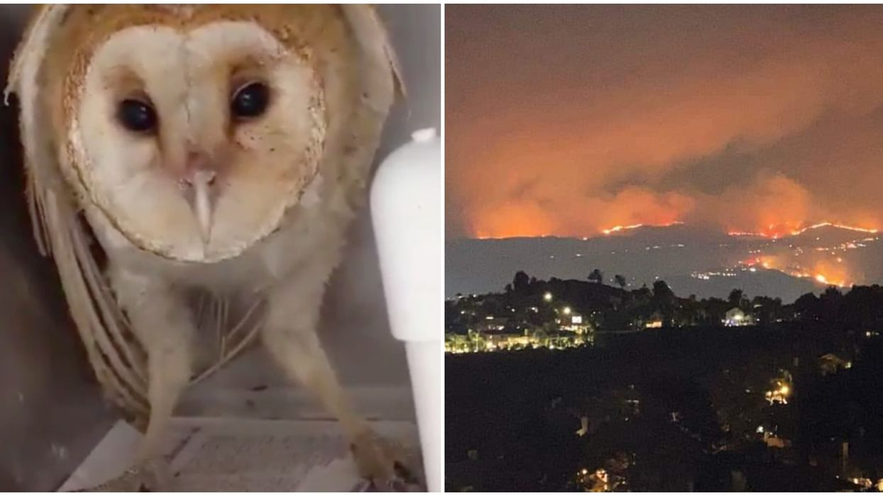 The Barn Owl Rescued From The Silverado Fire Is Recovering And Screeching Like A Dinosaur