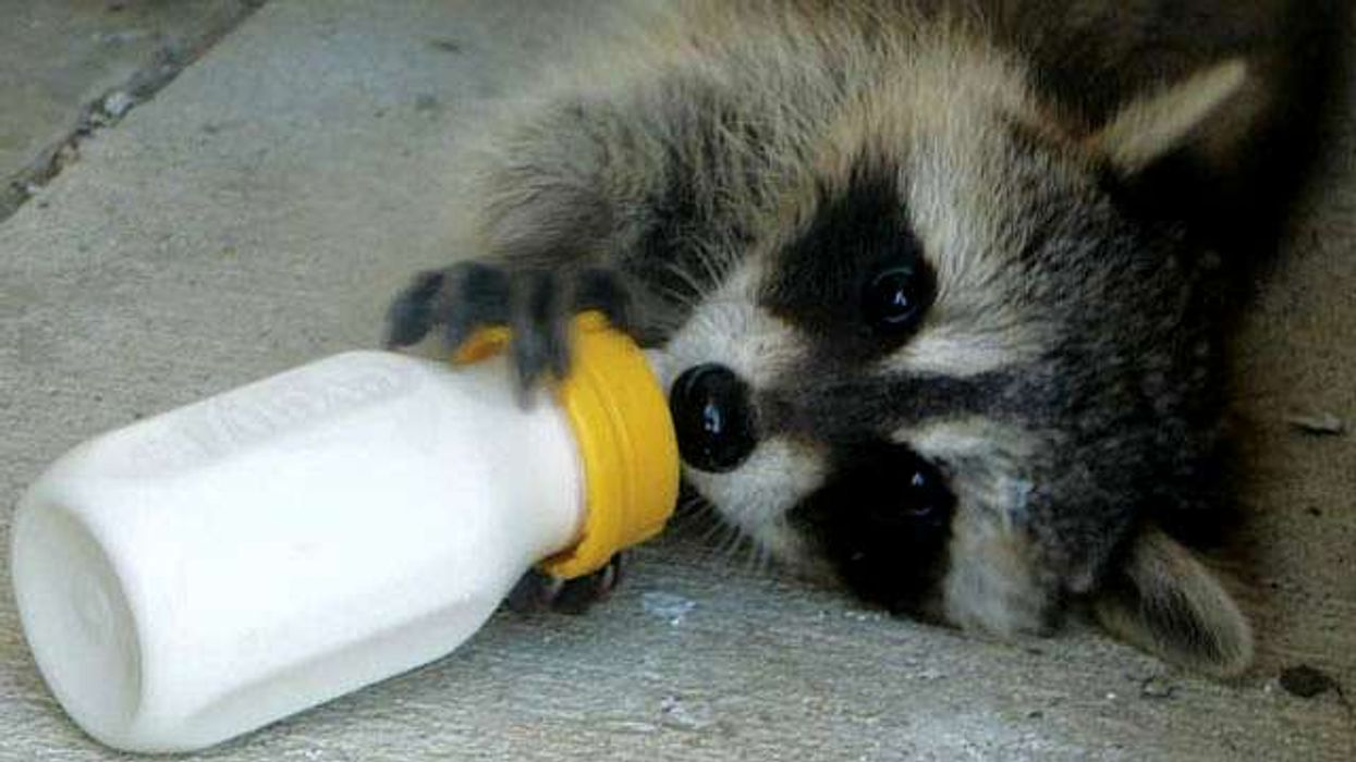 10 Raccoon GIFS That Prove They Are Worthy Of Love