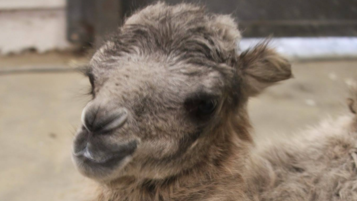 A New Baby Camel Was Born At The Toronto Zoo And It's Cute AF