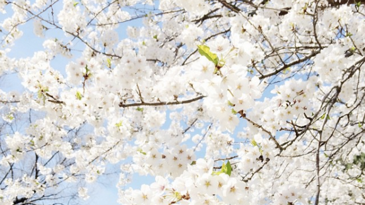 This Is When The High Park Cherry Blossoms Will Bloom