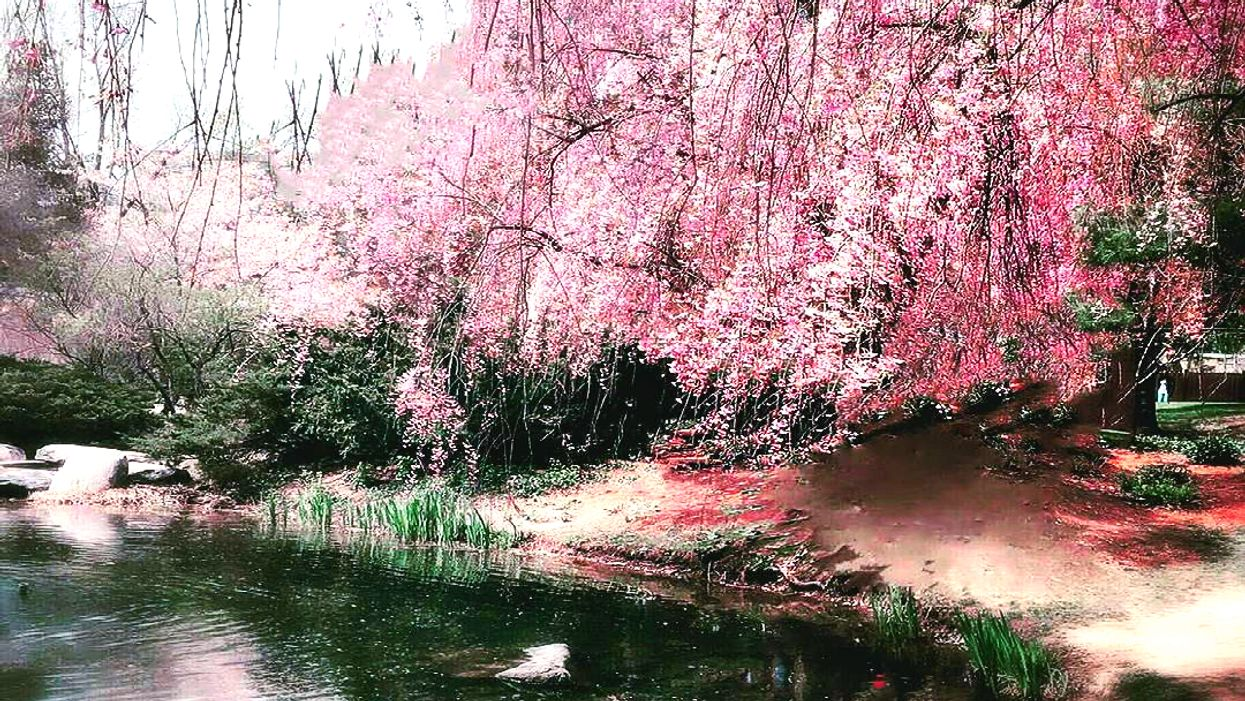 The Cherry Blossoms Are Now In Full Bloom At This Gorgeous Japanese Garden In Ontario
