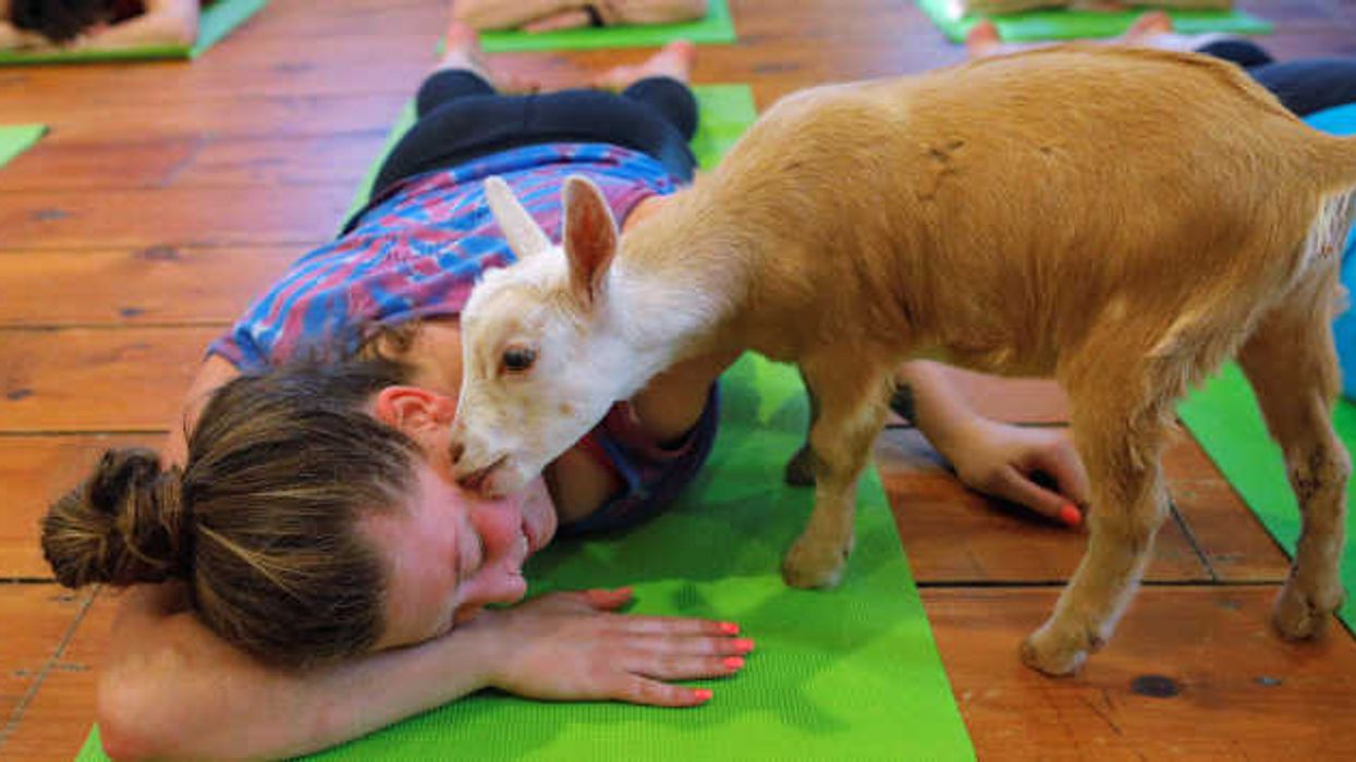 Goat Yoga Is A Thing In Ottawa And You Need To Try It Out
