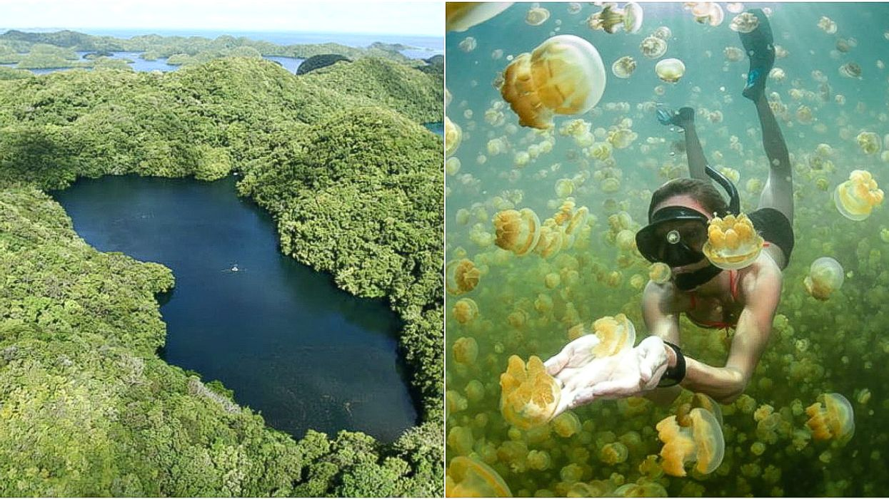 There's An Isolated Lake Where You Can Swim With Jellyfish That Won't Sting You