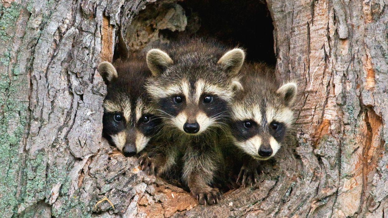Toronto Named The 'Raccoon Capital Of The World'