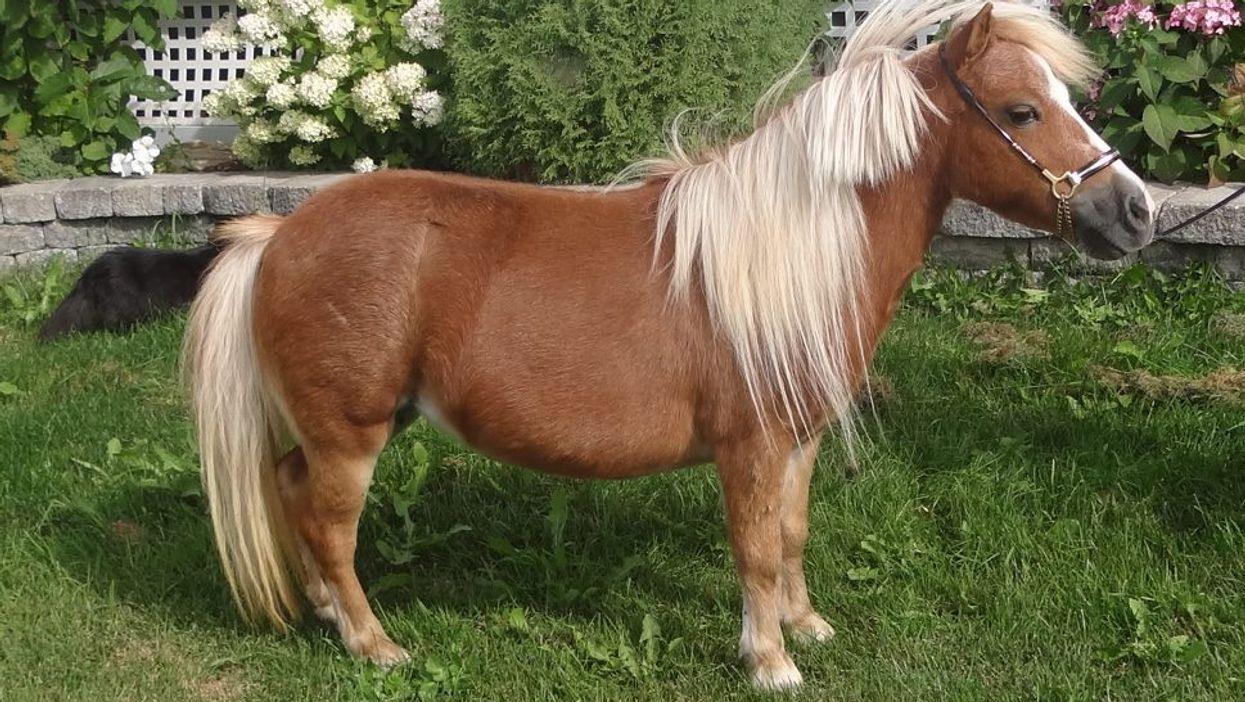 Il y a une ferme de mini-chevaux à Mirabel et c'est l'activité la plus mignonne à faire dans ta vie