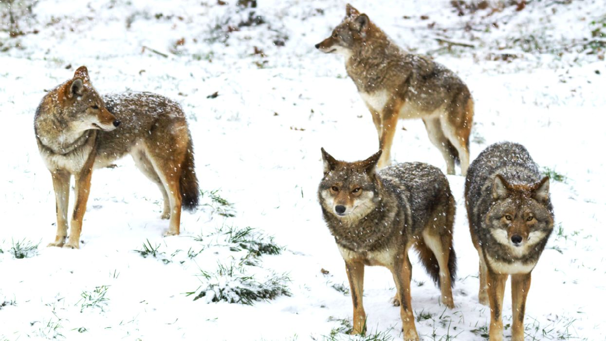 Multiple Cities In Southern Ontario Are Being Invaded By Wild Coyotes