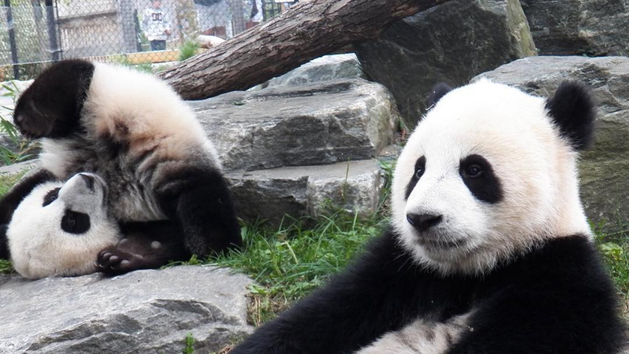 You Have Less Than Two Weeks To See The Toronto Pandas