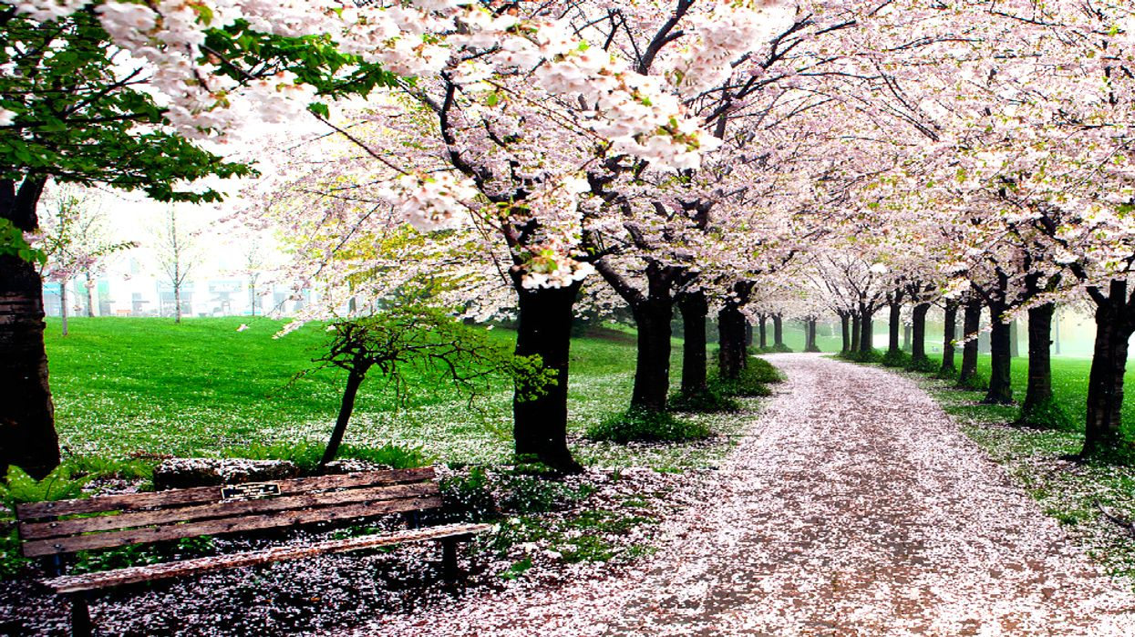 You Must Visit This Spectacular Cherry Blossom Trail In Ontario