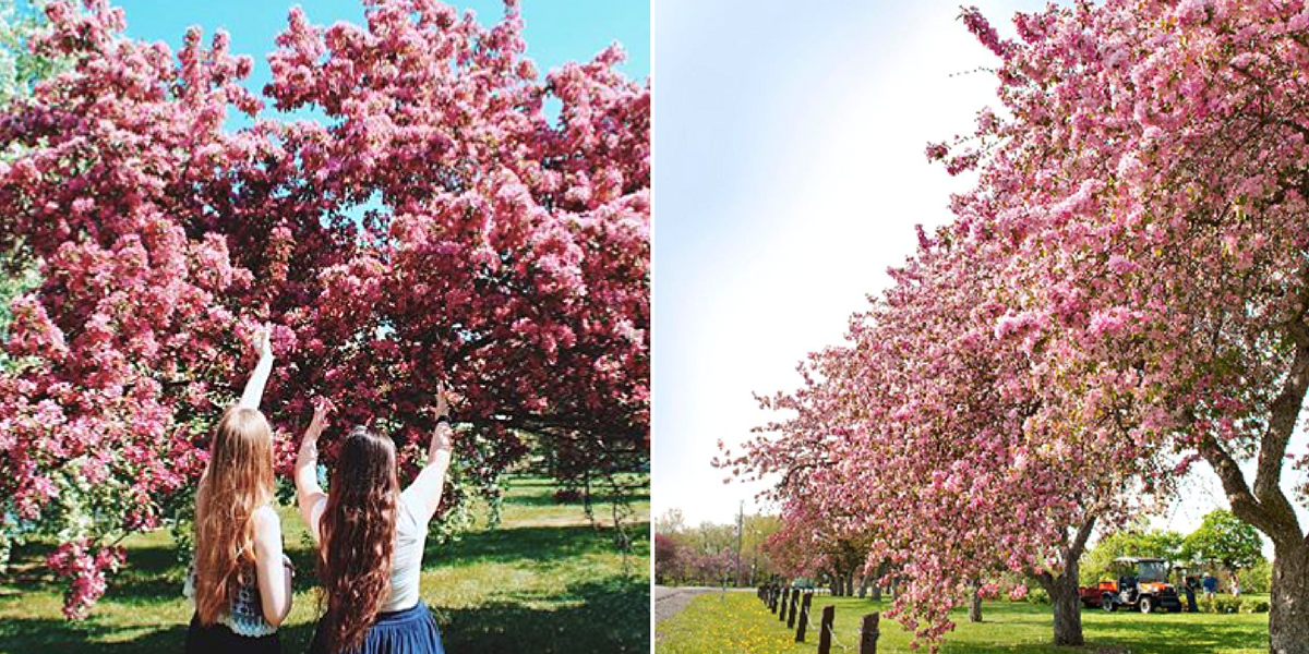 Here S Where In Ottawa These Gorgeous Cherry Blossom Trees Will Bloom Narcity