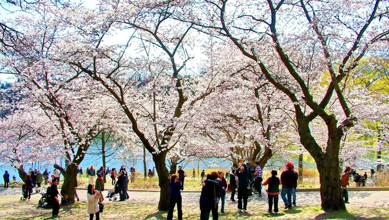 All The Pictures You Don't Want To See Of The First Weekend Of The High Park Cherry Blossoms