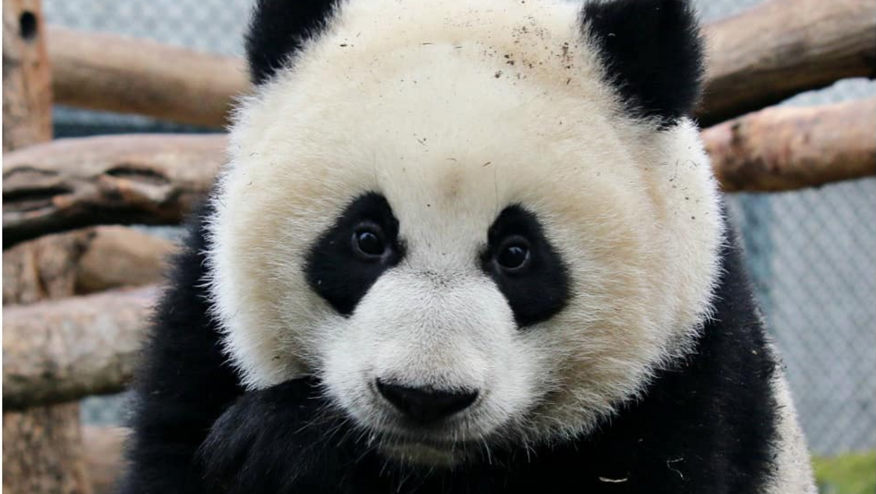 The Calgary Zoo Just Welcomed 4 Brand New Pandas