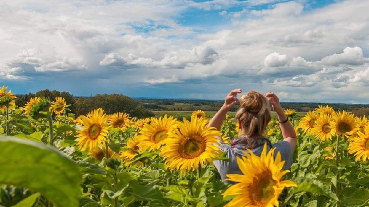 You Absolutely Need To Visit This Stunning Sunflower Maze In Alberta