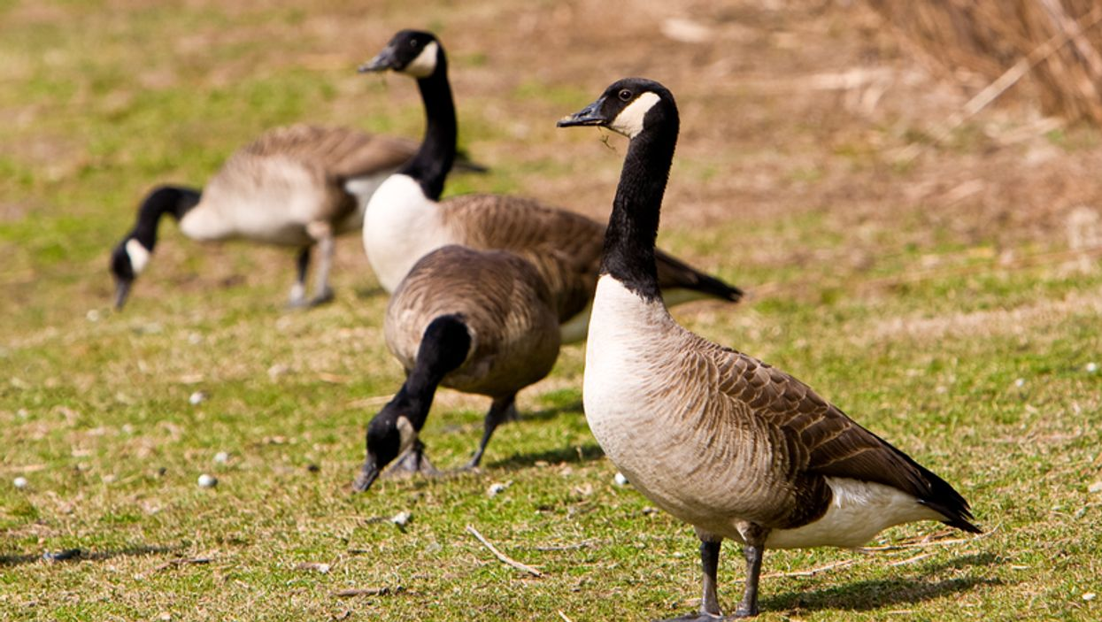 Someone Brutally Murdered 14 Canadian Geese In Ontario And The Details Will Break Your Heart