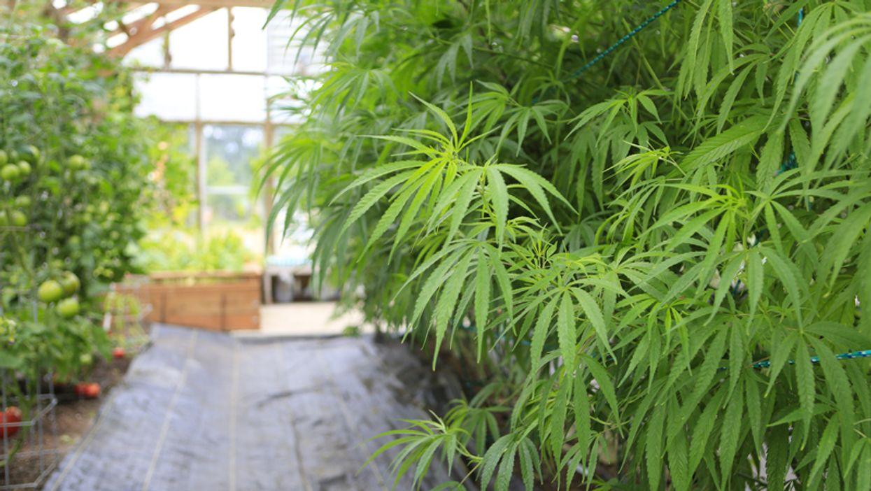La Société québécoise de cannabis commande 20 000 tonnes de pot à une entreprise québécoise
