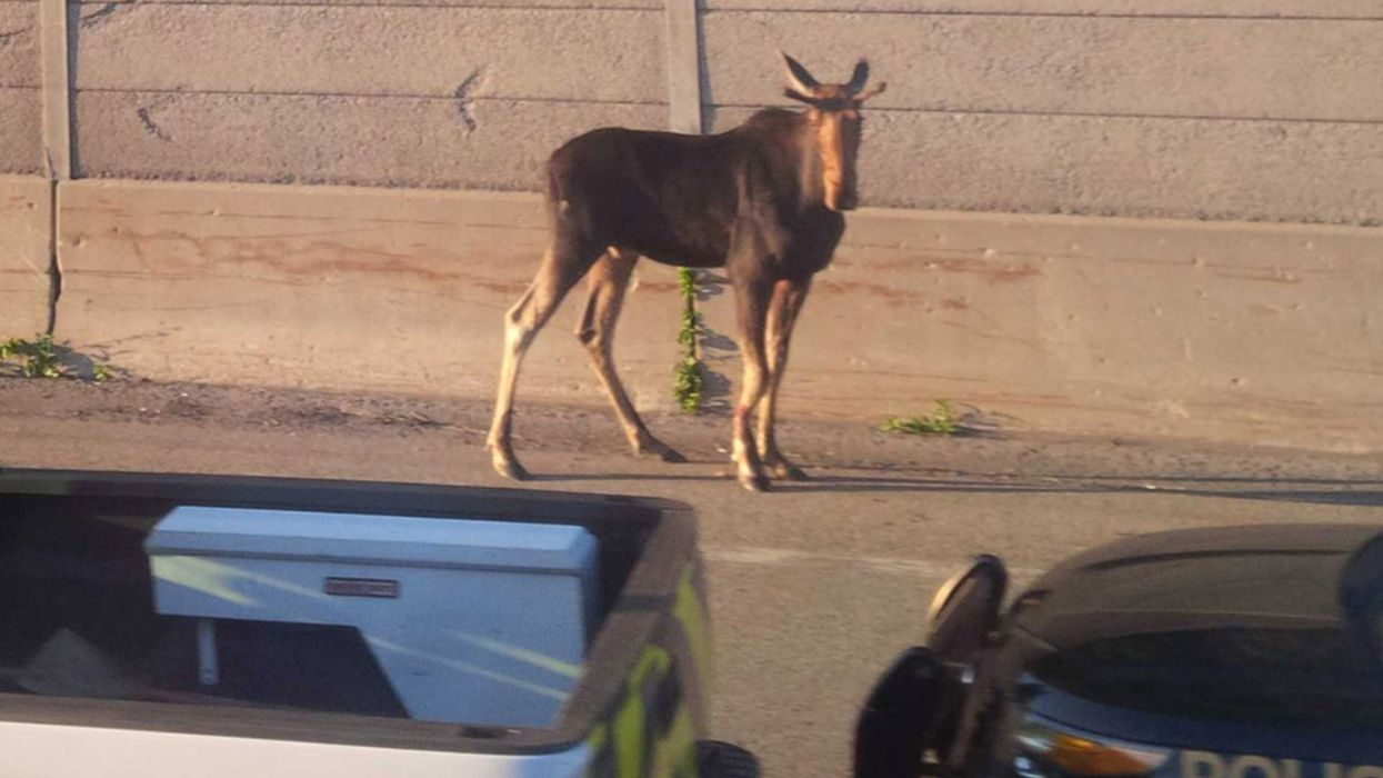 An Injured Moose Wandered Onto An Ontario Highway This Morning And Caused A Major Traffic Jam (PHOTOS)