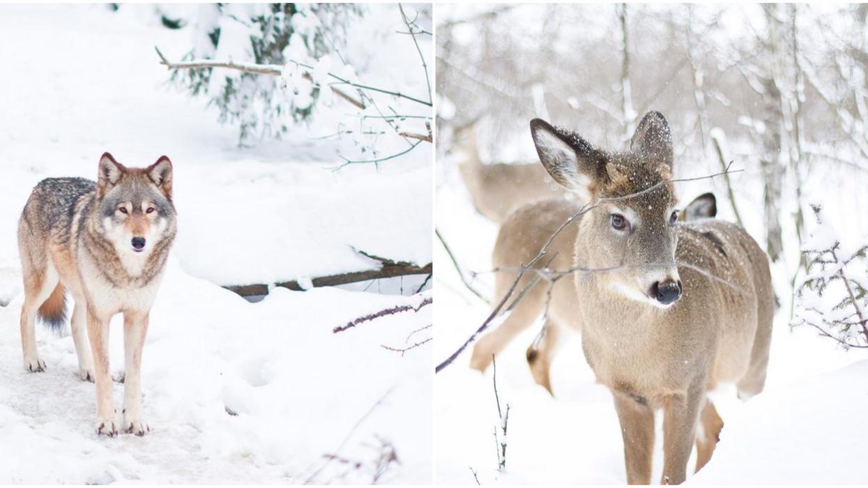 Tu peux aller chiller avec « bambies » en plein air à ce refuge animalier au Québec