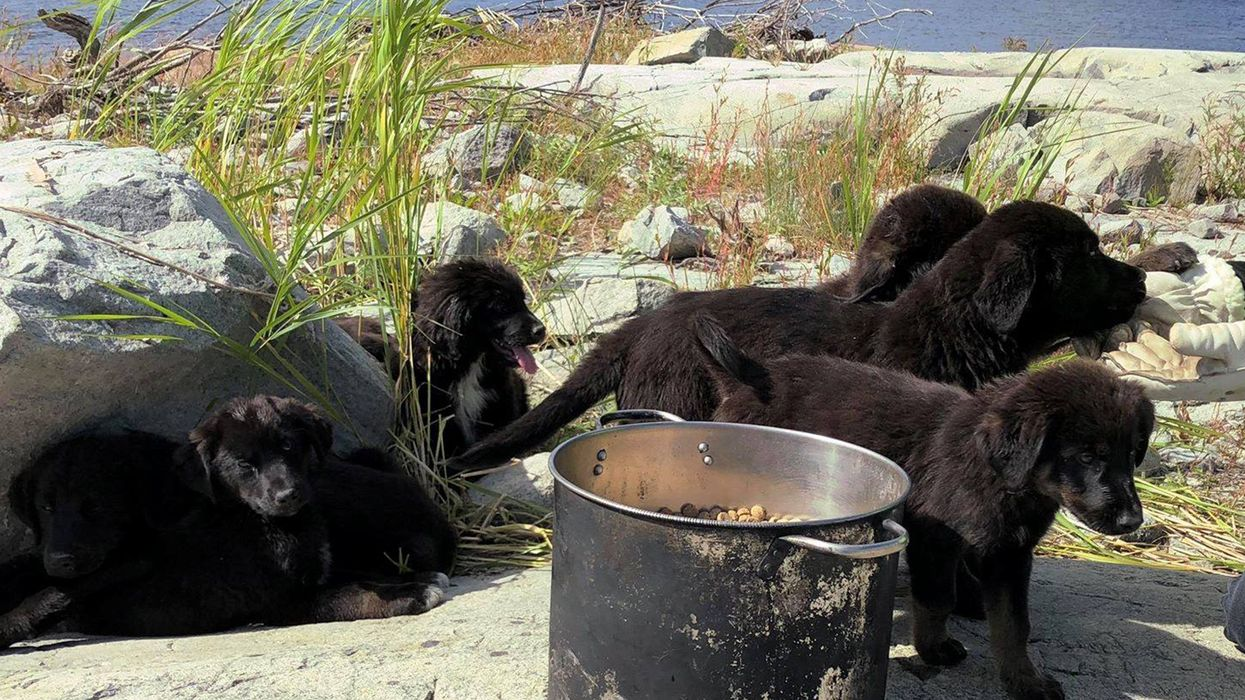 There's An Island Off Of Manitoba With A Litter Of Puppies As Its Only Inhabitants