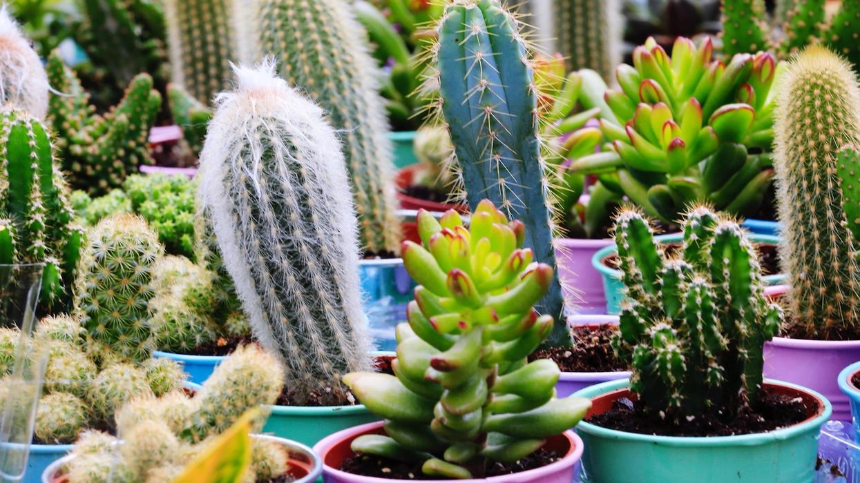 Une grosse vente de cactus à partir de 5$ aura lieu la semaine prochaine à Montréal