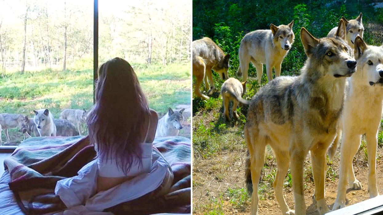 Tu peux dormir avec des loups dans ce chalet à 1h30 de Montréal