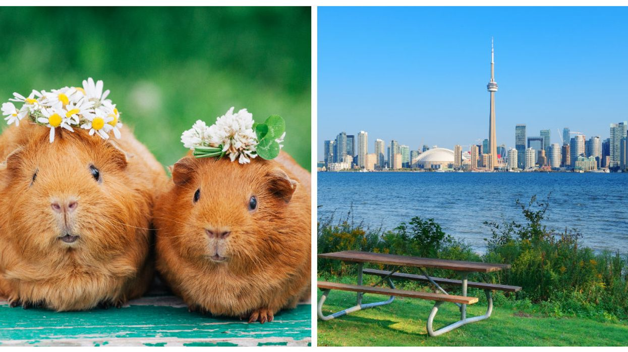 Cancel Your Plans, A Massive Guinea Pig Festival Is Happening In Toronto Tomorrow
