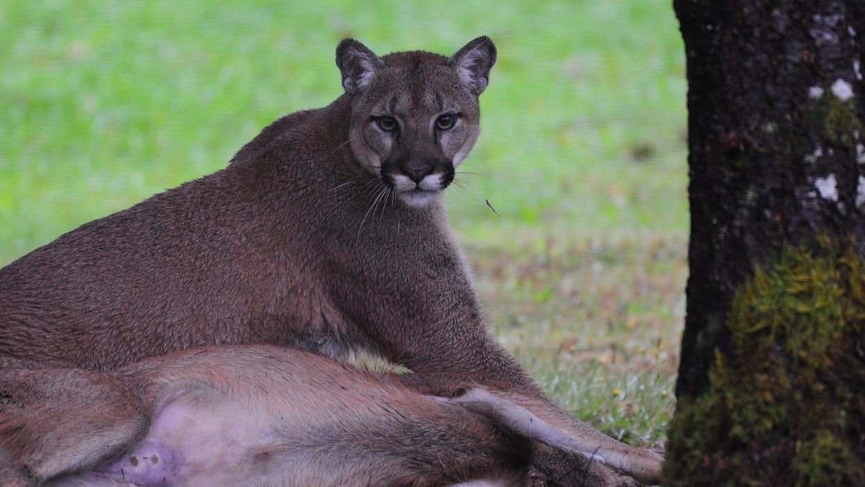 A Canadian Woman Had A Terrifying Encounter With A Huge Cougar In Her Backyard