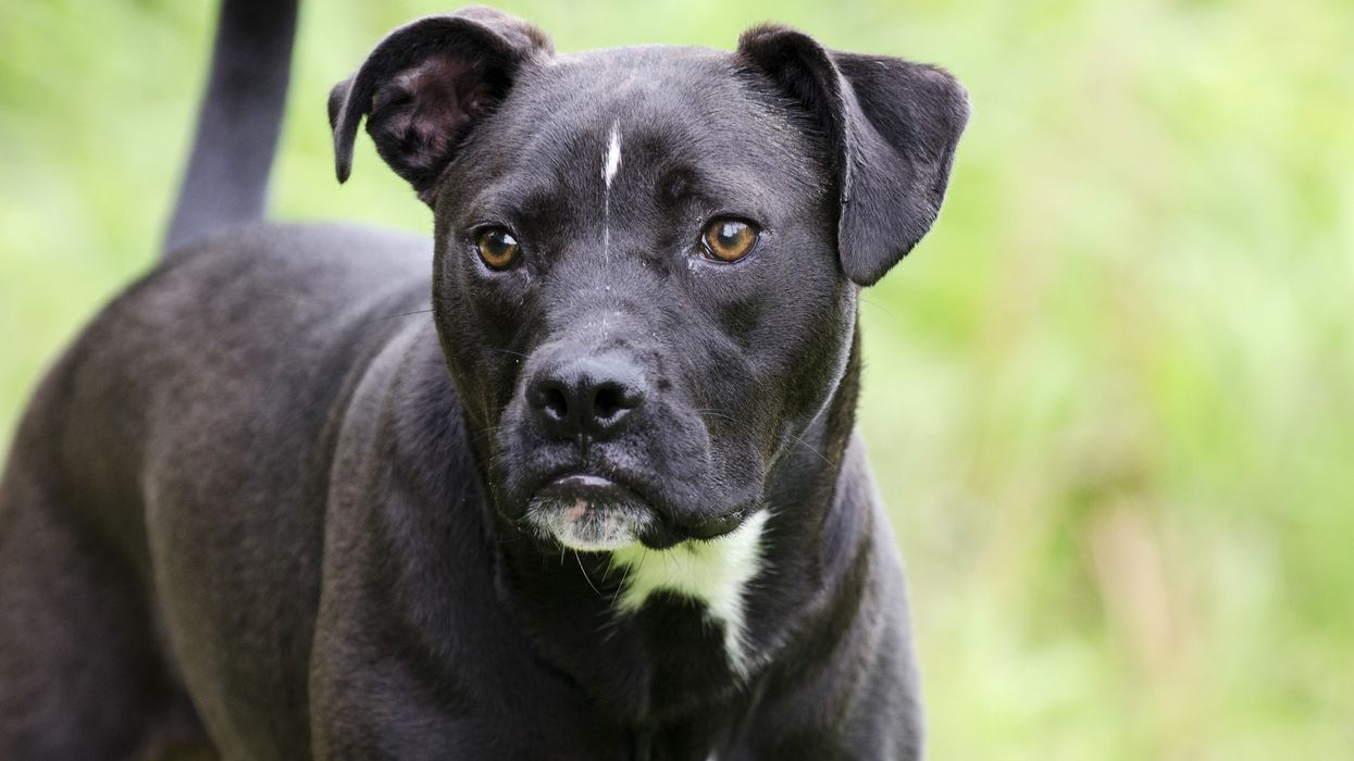 A Canadian Woman Was Killed By Her Pitbull-Boxer Dog Yesterday And This Is What Will Likely Happen To The Animal