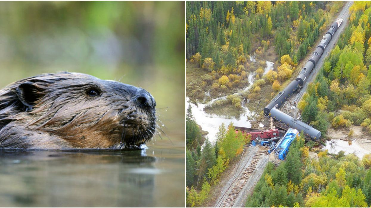There Was A Tragic Train Derailment In Manitoba And It's All Thanks To Canadian Beavers