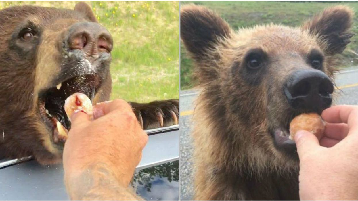 Canadians Are Seriously Feeding Timbits To Wild Bears And It's Actually A Criminal Offence