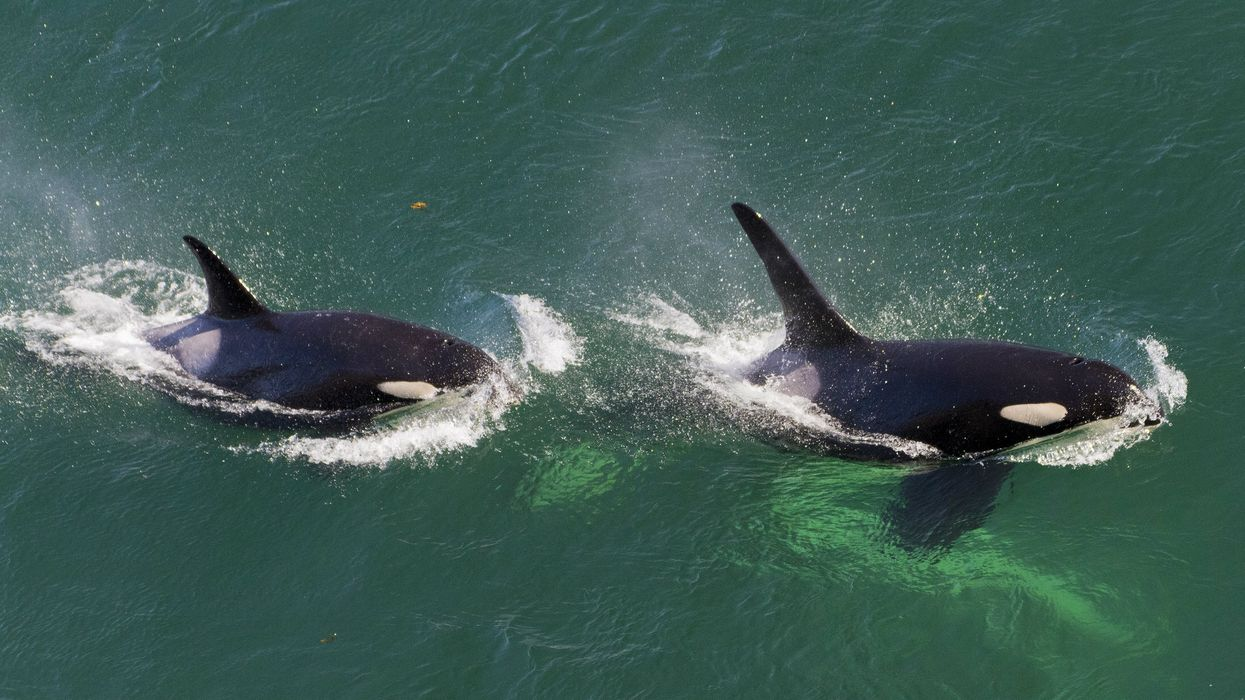 The Government Of Canada Just Committed $61 Million Dollars To Protecting Killer Whales