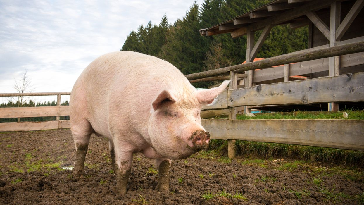 A Massive 200-Pound Pet Pig In Ontario Is Now Homeless And Desperately Needs A Temporary Owner