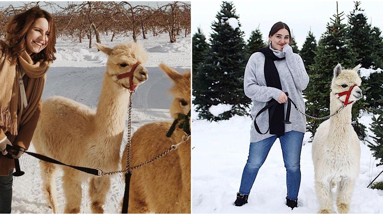 You Can Take Alpacas On A Walk Down An Adorable Country Lane At This Ontario Farm