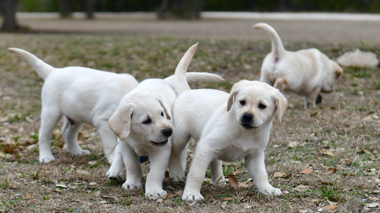 Dozens Of Labrador Retriever Puppies In Ontario Are In Need Of Temporary Owners This Month