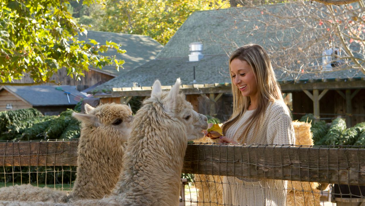 You Can Get Up Close And Personal With These Adorable Alpacas At This Florida Ranch