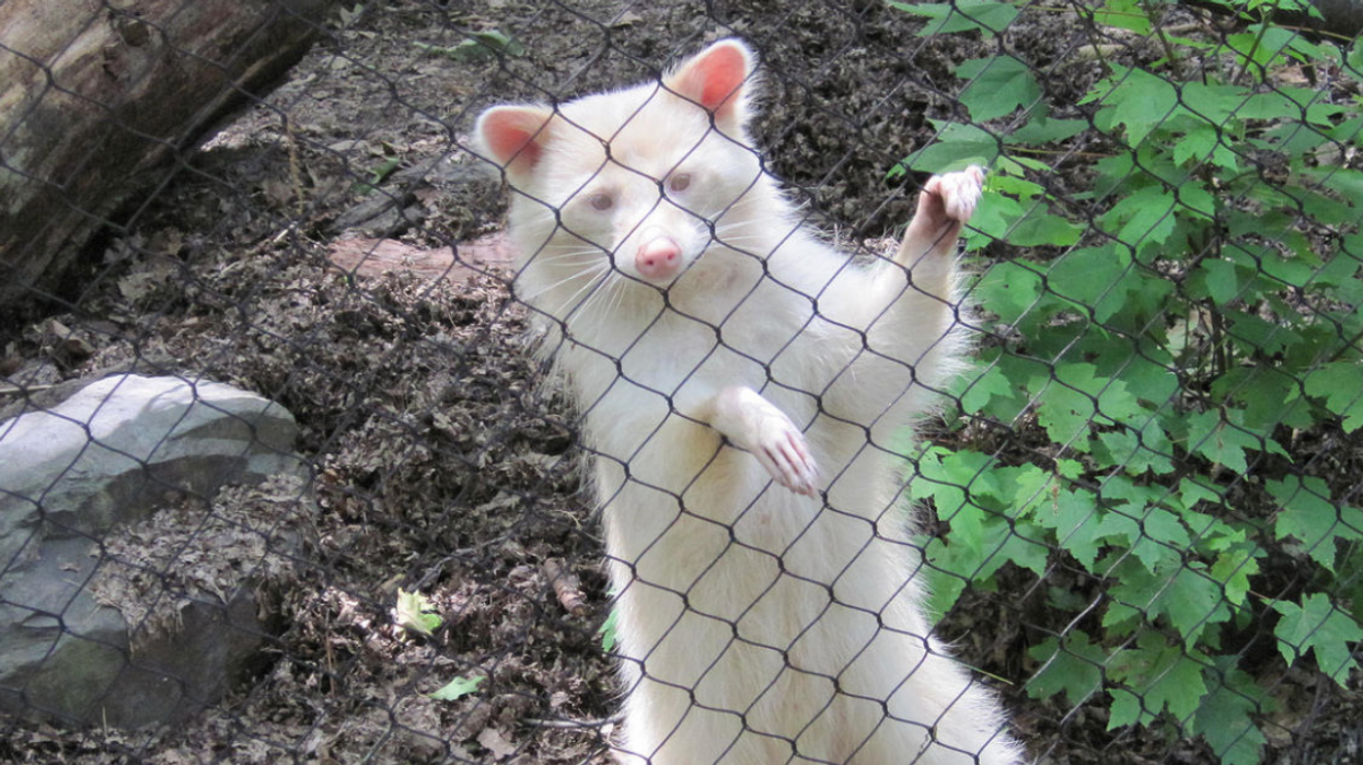 A Super Rare Albino Raccoon Was Just Spotted In Ontario (PHOTO)