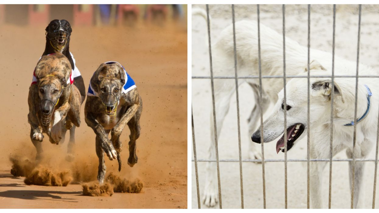Thousands Of Retired Florida Racing Dogs Are About To Flood Shelters And Rescues