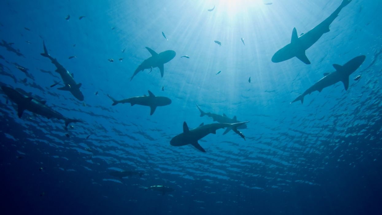 Blacktip Sharks Are Currently Migrating To Florida In The Thousands