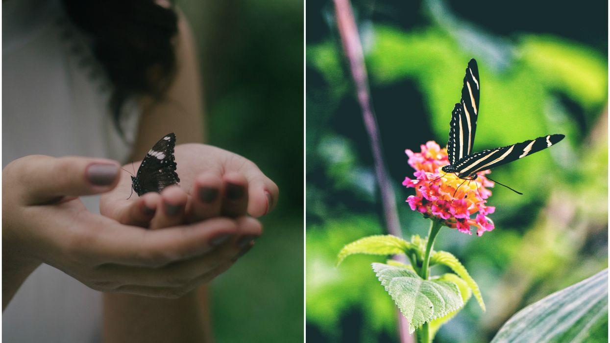 2 000 papillons voleront autour de toi lors d'un «festival»magique à Montréal ce printemps