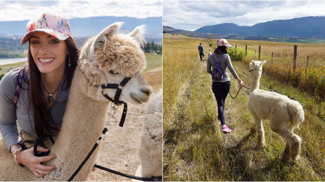 You Can Take Alpacas On A Walk At This Adorable Farm In BC This Spring