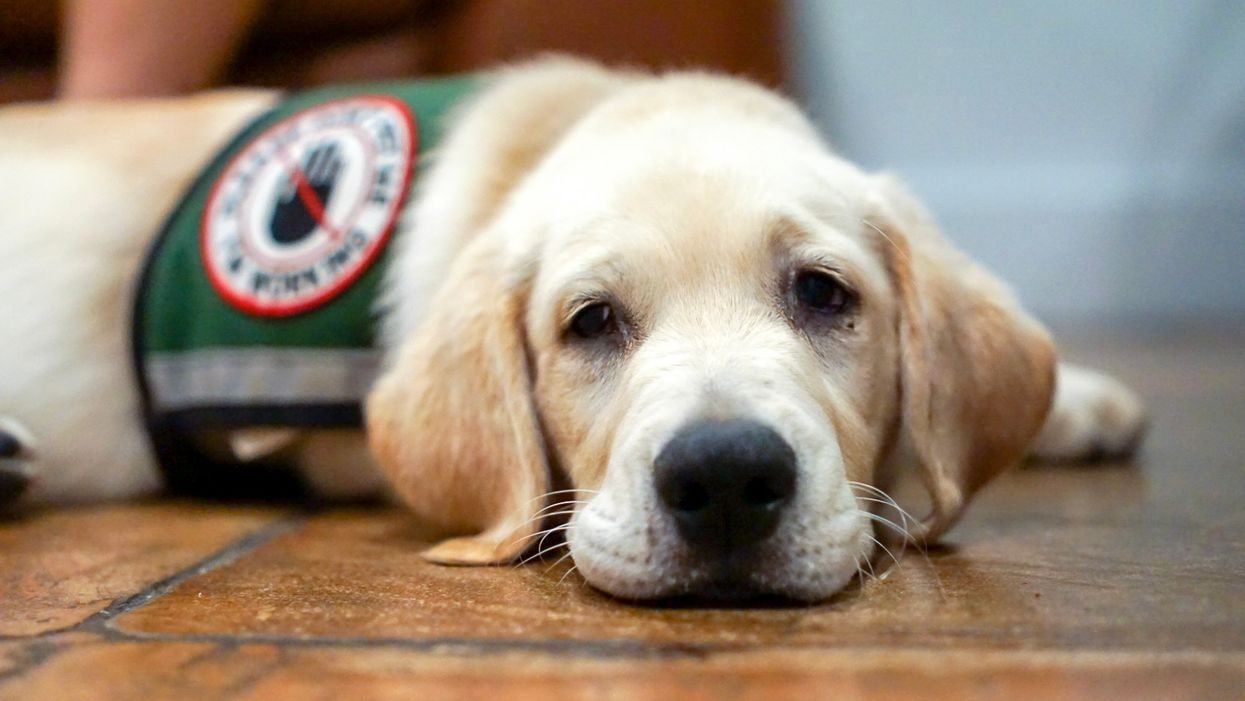 You Can Adopt A Puppy That Failed Service Dog Training In Canada