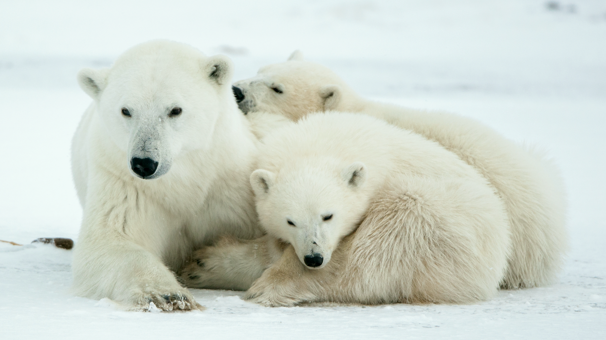 Canada Is Home To The Majority Of The World's Polar Bears And They're At Risk Of Becoming Endangered