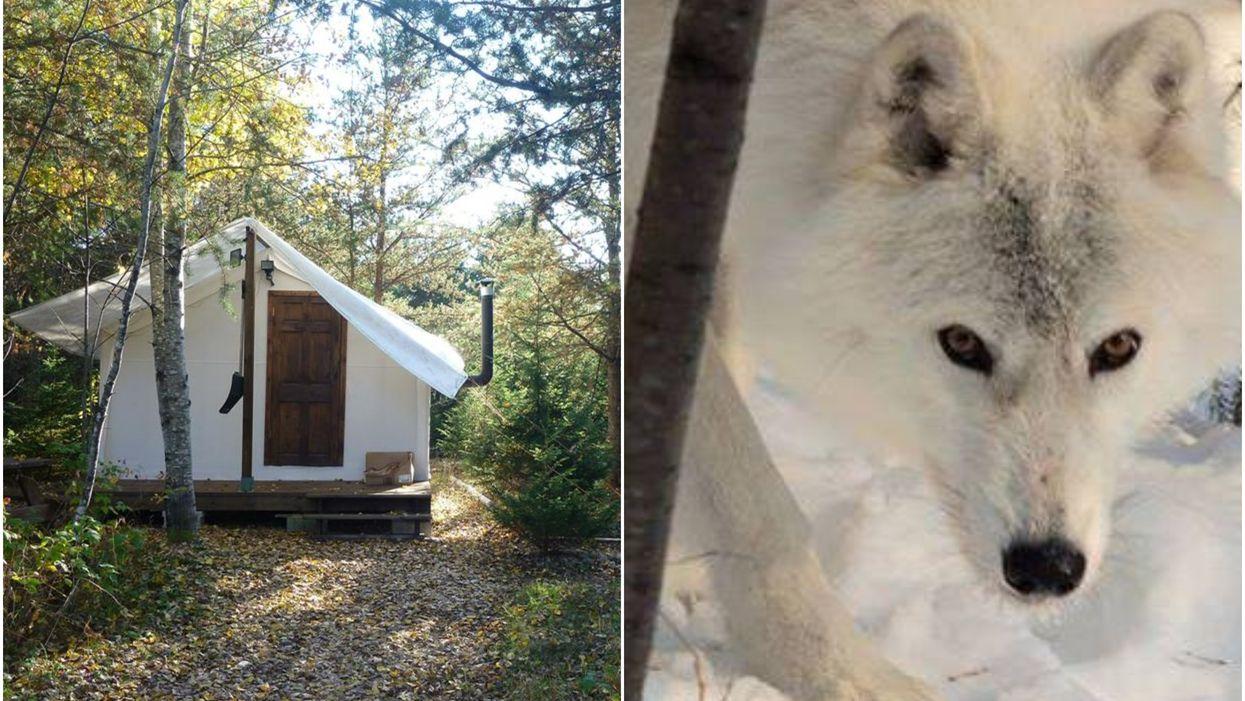 Tu peux passer une nuit dans ces adorables chalets parmi les loups au Québec