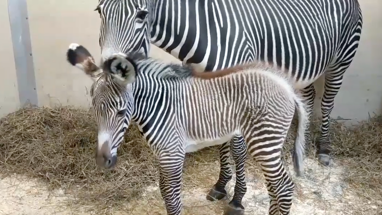 Toronto Is In Love With The Zoo's Newborn Endangered Zebra (PHOTOS)